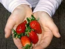 Die ersten Erdbeeren.